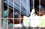 Bats hanging upside down in a cage at a wildlife market in Indonesia to be sold for food