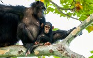 Portrait of a chimp and baby