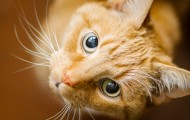 orange cat looking up with large eyes
