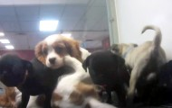 Overcrowding in the Tyler, Texas Petland store, where many puppies were sick.