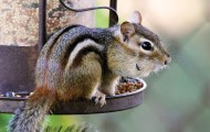 Chipmunk outside, on bird feeder
