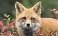 Beauty shot of a fox