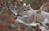 Gray Squirrel in tree eating berries