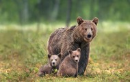 Bear and her cubs in the wild