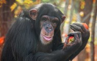 Loretta, a chimpanzee, holding an apple in a fall orchard