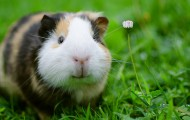 Portrait of a guinea pig in the grass