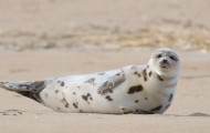 Portrait of a harbor seal on a beach in Massachusetts