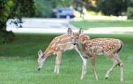 Two deer in a landscaped yard.
