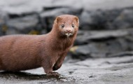 Mink standing on rocks