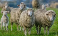 A group of sheep in a grassy field
