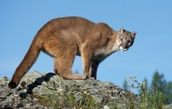 Beauty shot of a mountain lion