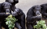 Rescued chimpanzees at the waters edge eating fresh vegetables