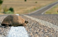Turtle crossing the rural road