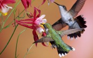 hummingbirds sipping nectar from bright red flowers