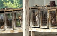 Caged breeding dogs at Margaret Manning's puppy mill in Pocahontas, AR, July 2020