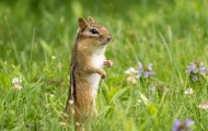 chipmunk in a field