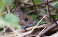 small mouse hiding in brush