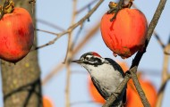 woodpecker on persimmon tree