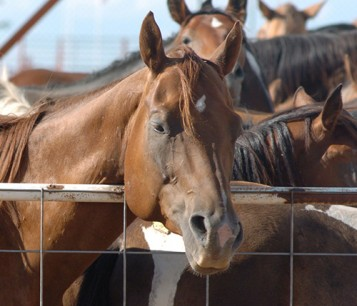 horses in pens before slaughter