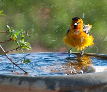 Bird in birdbath, enjoying a humane backyard