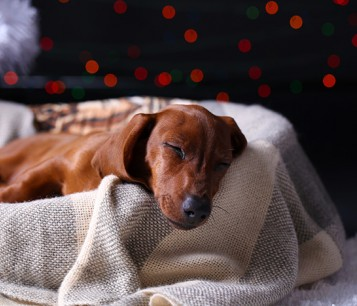Dog sleeping in his bed with holiday lights in the background