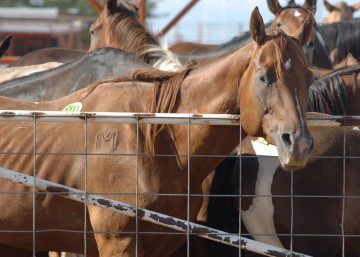 American horses are held in export pens in Texas and New Mexico before transported to slaughter in Mexico.