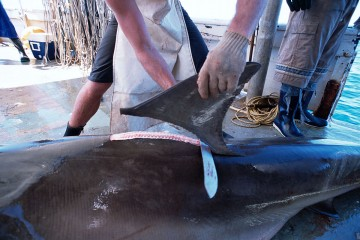 Fins being removed from a great hammerhead shark