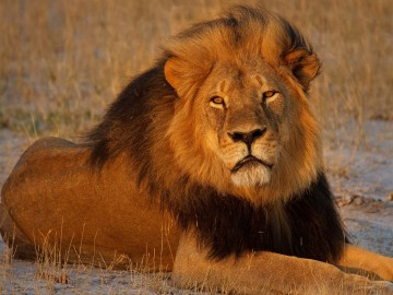 Cecil the lion at sunset