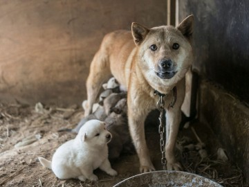 Dog with pups on dog meat farm in South Korea