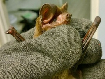 Injured bonneted bat receives care at South Florida Wildlife Center
