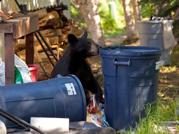 Brown bear getting into trash cans