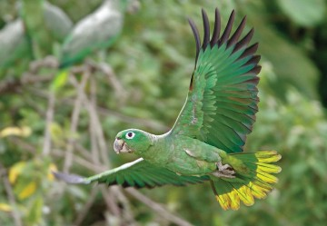A mealy Amazon parrot takes flight in Ecuador