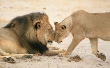 Sweet moment of Cecil the lion with a female in his pride.
