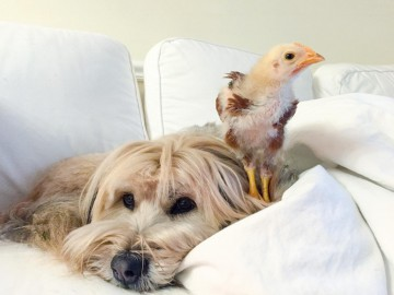 Minnow the dog with Chickpea the chicken