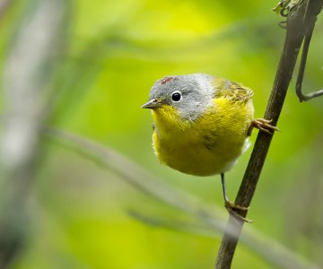 Warbler on a branch at spring