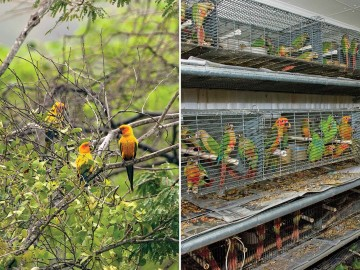 Side-by-side comparison of conure birds in their natural habitat vs crammed in a breeding facility.