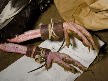 Roosters feet bound with steel blades for cockfighting