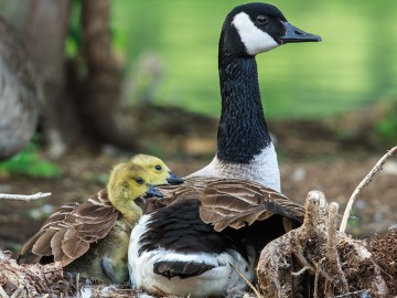 mother goose protecting her goslings