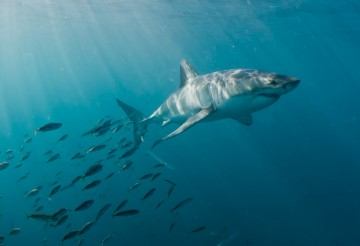 Great white shark swimming with fish Western Cape Province, South Africa.