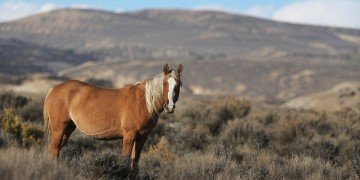 Wild horse in the Sand Wash Basin of Northwestern Colorado stands in the open desert landscape