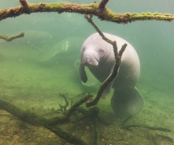 A manatee swims in Florida's Blue Spring State Park.