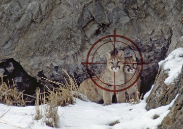 Mountain lions in the crosshairs of a trophy hunter