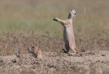 prairie dog jump-yipping