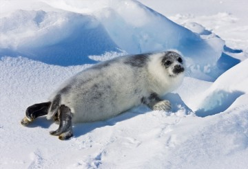 Ten-day-old harp seal pup fur starting to turn black, Iles de la Madeleine, Quebec, Canada.
