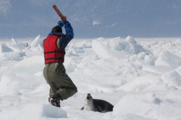 Harp seal about to be killed by a Canadian fisherman