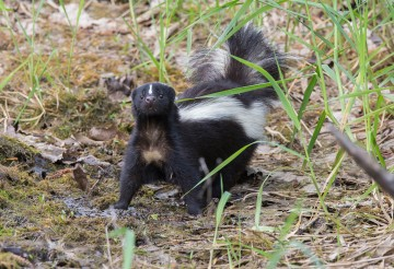 Cute skunk in the grass.