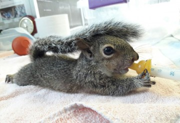 Young squirrel being fed at South Florida Wildlife Center