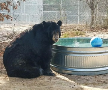 Tibor, a rescued black bear, with his new wading pool.