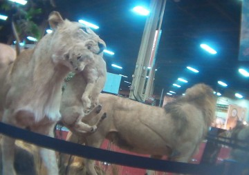 A stuffed lion family.