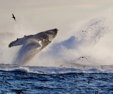 Whale breaching in Monterey Bay waters